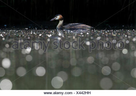 A great crested grebe, Podiceps cristatus, resting on a river. - Stock Photo