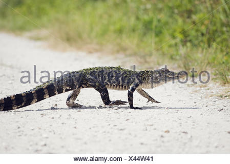 Young American Alligator - Stock Photo