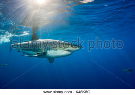 Male Great white shark (Carcharodon carcharias) with sunrays, Guadalupe Island, Mexico, Pacific Ocean. - Stock Photo