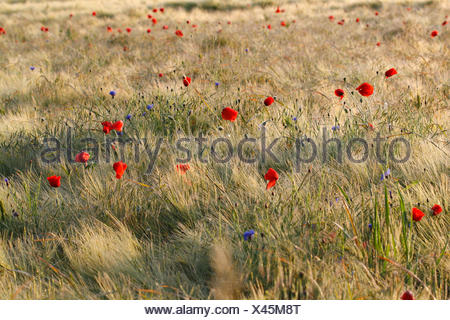 Poppy (Papaver rhoeas) flowers in the cornfield, Middle Elbe Biosphere Reserve, Saxony-Anhalt, Germany - Stock Photo