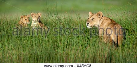 Female African Lion with 4 month old cubs, Big Marsh, Ndutu, Serengeti, Tanzania - Stock Photo