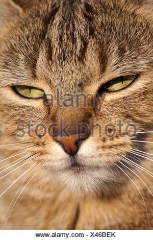 Portrait of a domestic cat (Felis silvestris forma - Stock Photo