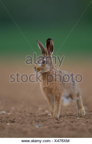 Brown hare (Lepus europaeus), juvenile leveret in a ploughed field, Norfolk, England, United Kingdom - Stock Photo