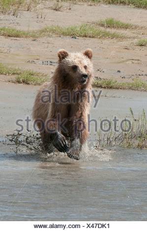 Brown Bear chases fish on a beach in Chinitna Bay, Lake Clark National Park, Southcentral Alaska, Summer - Stock Photo