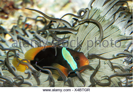 RED AND BLACK ANEMONEFISH amphiprion melanopus, ADULT A SEA ANEMONE - Stock Photo