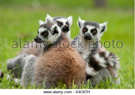 Ring Tailed Lemur Lemur catta Madagascar - Stock Photo