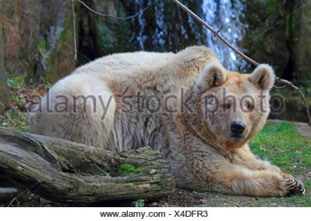 Syrian brown bear (Ursus arctos syriacus), adult brown bear with light brown fur - Stock Photo