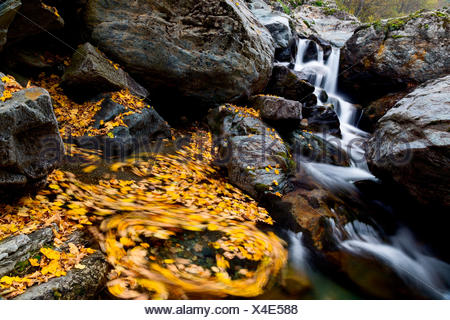 Pellice valley, Piedmont, Italy, Spinning maple's leaves inside a mountain little river, with a sweet falls in the background - Stock Photo