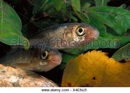 Freshwater Rivers Galicia Spain Iberian nase Chondrostoma duriensis - Stock Photo