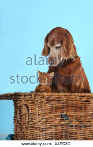 Irish Setter sitting next to an Abyssinian cat in a basket - Stock Photo