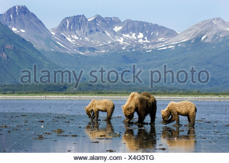 Brown bears digging clams in tidal flats at mouth of Big River in Katmai National Park, Alaska - Stock Photo