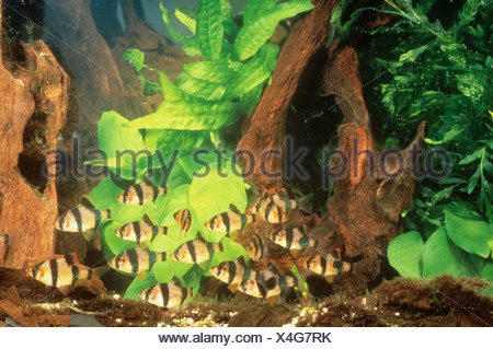 Sumatra barb / barbus tetrazona - Stock Photo
