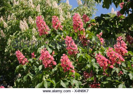 Redflowering horse chestnut - Stock Photo