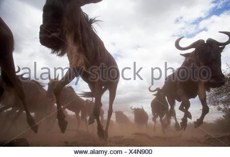 Eastern white-bearded wildebeest (Connochaetes taurinus) herd running. Masai Mara National Reserve Kenya. Taken remote wide angle camera. - Stock Photo