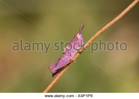Pink Grashopper - Stock Photo