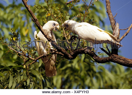 Two cockatoos (Cacatuidae) living in the wild, Cockatoo National Park, Northern Territory, Australia - Stock Photo