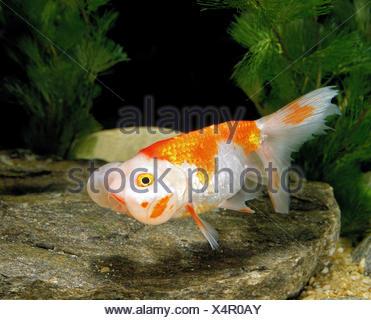 Bubble Eye Goldfish, carassius auratus - Stock Photo
