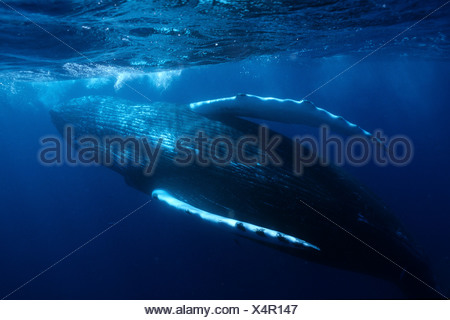 Humpback whale, Vulnerable (IUCN), Silver Bank, Turks & Caicos, Caribbean Sea, Atlantic Ocean - Stock Photo
