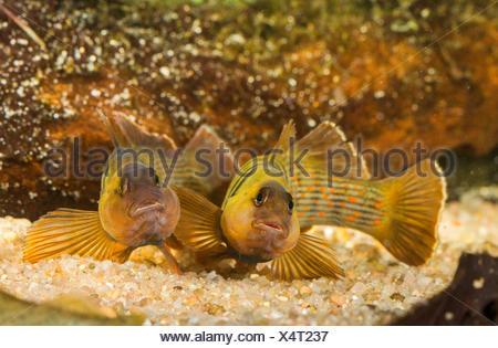 Blaubrust-Springbarsch, Blaubrustspringbarsch (Etheostoma camurum), rivalisierende Maennchen | Bluebreast Darter  (Etheostoma ca - Stock Photo