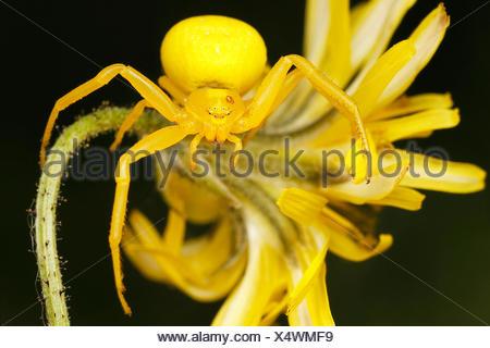 Veraenderliche Krabbenspinne, Veraenderliche Krabben-Spinne (Misumena vatia), Weibchen, Oesterreich | goldenrod crab spider (Mis - Stock Photo