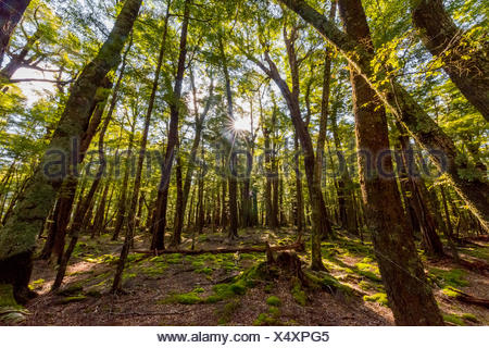 Sun shining through the trees, forest, Mount Aspiring National Park, Otago, Southland, New Zealand - Stock Photo