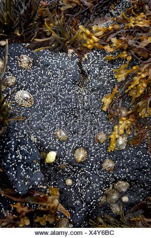 Tube worm covered stone, barnacles and bladder wrack on Isle of Skye. - Stock Photo