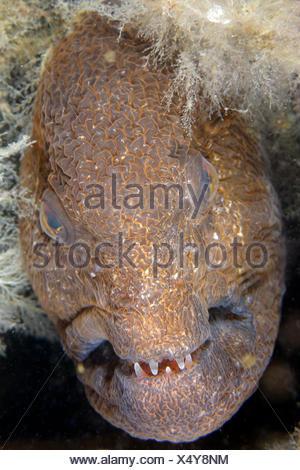 Portrait of Wolf-Eel female - Pacific Ocean Alaska USA - Stock Photo