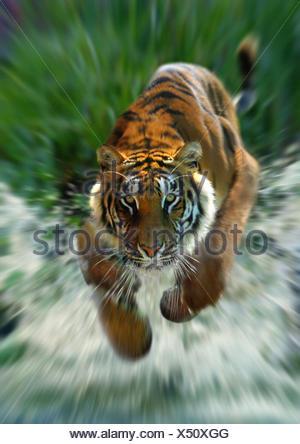 Bengal tiger (Panthera tigris tigris), running through water - Stock Photo
