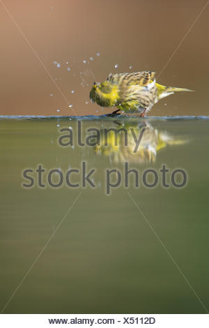 Male Serin {Serinus serinus} shaking off water at water edge, Spain - Stock Photo