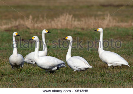 Bewick's Swan, Tundra Swan (Cygnus bewickii, Cygnus columbianus bewickii). Group standing on a meadow. Germany - Stock Photo
