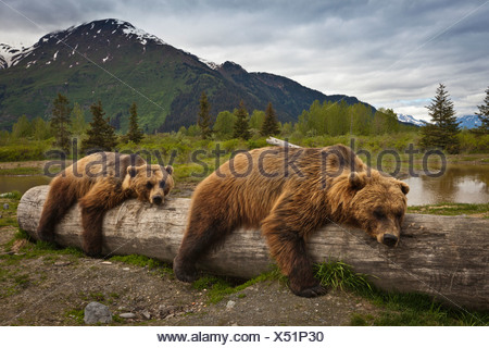CAPTIVE: Two mature Brown bears lay stretched out on a log at Alaska Wildlife Conservation Center, Southcentral Alaska, Summer - Stock Photo