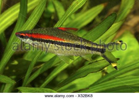 Red lined torpedo barb (Puntius denisonii), adult 15 cm - Stock Photo