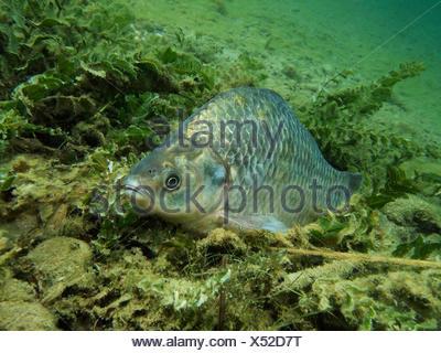 Prussian carp / (Carassius auratus gibelio) - Stock Photo