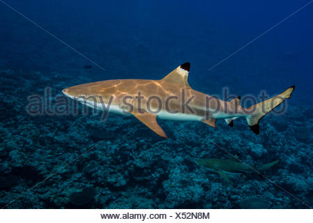 Blacktip Reefshark, Carcharhinus melanopterus - Stock Photo