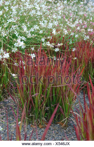 woollygrass, Japanese Blood Gras (Imperata cylindrica 'Red Baron', Imperata cylindrica Red Baron), cultivar Red Baron, together with Gaura lindheimeri - Stock Photo