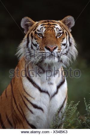 SIBERIAN TIGER adult - Stock Photo