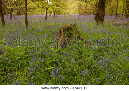 A carpet of Bluebells in the woods at Lanhydrock House near Bodmin in Mid Cornwall,on a spring morning. - Stock Photo