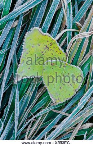 poplar leaves with hoarfrost on grass, Germany, Lower Saxony - Stock Photo