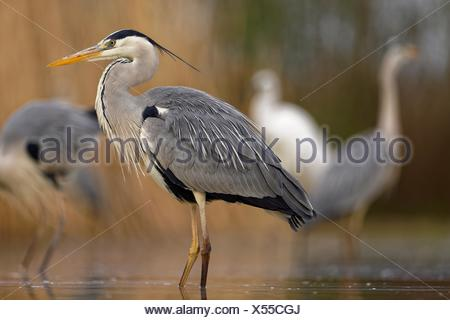 Grey heron (Ardea cinerea), stands in the water, National Park Kiskunsag, Hungary - Stock Photo