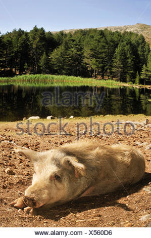 domestic pig (Sus scrofa f. domestica), feral pig lying on lakefront of Creno lake, France, Corsica, soccia - Stock Photo
