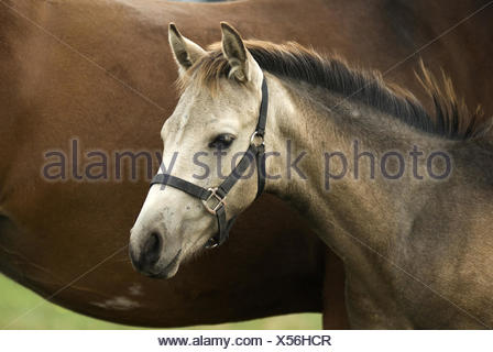 foal, stallion - Stock Photo