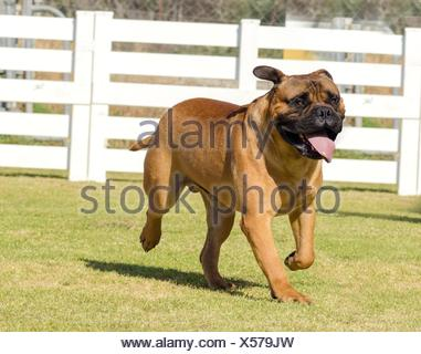 A portrait view of a young, beautiful red fawn, medium sized Bullmastiff dog walking on the grass. The Bullmastiff is a powerfully built animal with great intelligence and a willingness to please. - Stock Photo