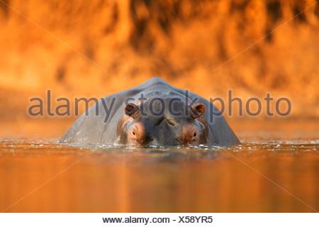 Hippopotamus / Hippo - Hippopotamus amphibius - at sunset, Mana Pools National Park, Zimbabwe, Africa - Stock Photo