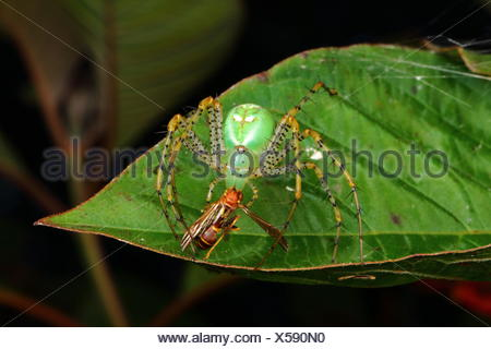 A green lynx spider with babies, Peucetia viridans, preying on a paper wasp. - Stock Photo