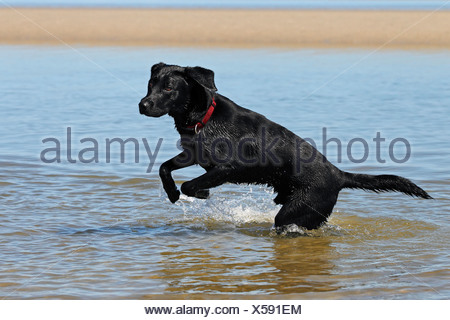 Black Labrador Retriever playing in the water at a dog beach, young male - Stock Photo