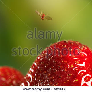 Fruit fly (Drosophila melanogaster) in flight having just taken-off from strawberry, controlled conditions. - Stock Photo