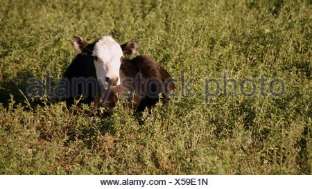 Rest you cow - Stock Photo
