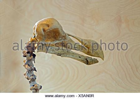 Dodo (Raphus cucullatus) skull, Gerald Durrell Conservation Trust, Jersey - Stock Photo