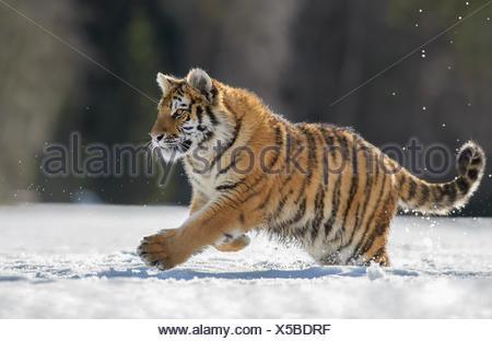 Siberian tiger (Panthera tigris altaica) juvenile running in snow, captive, Moravia, Czech Republic - Stock Photo