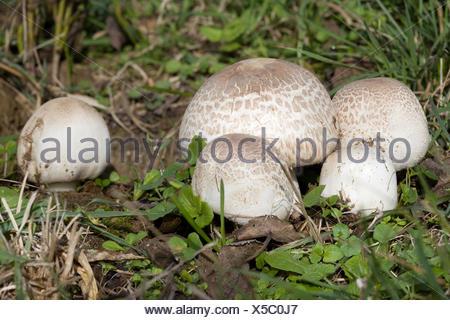 Meadow Mushroom - Stock Photo